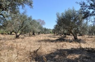 Glyphosat im Olivenhain